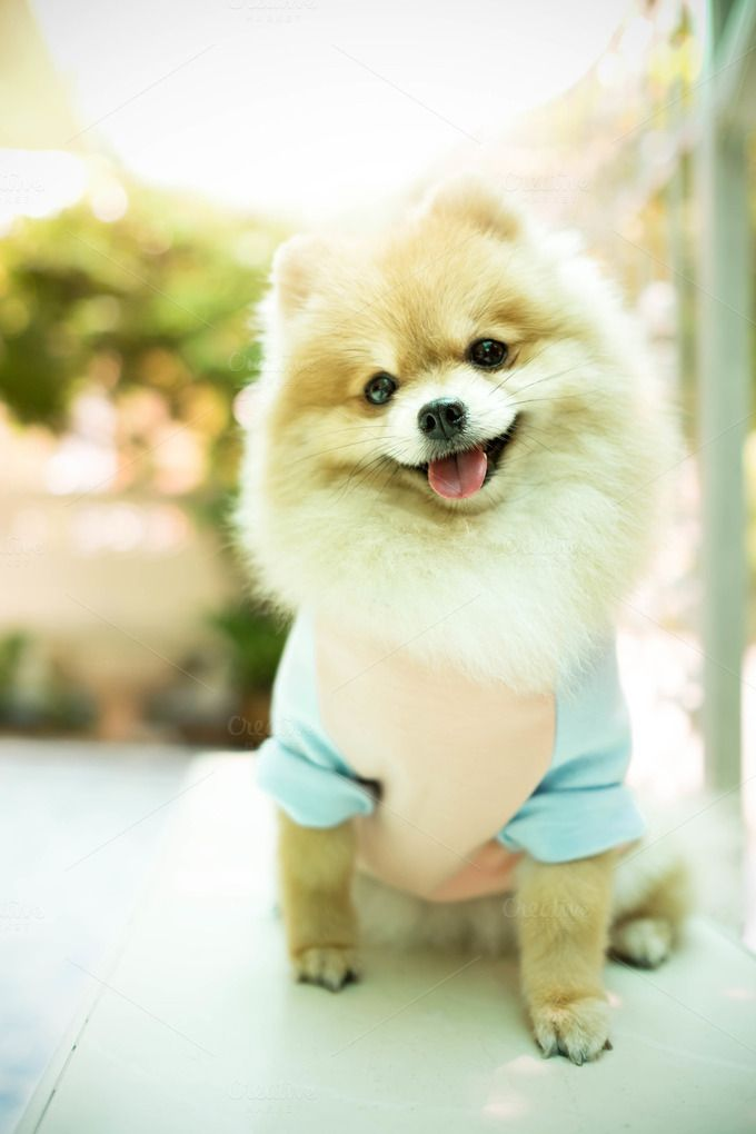 Dog pomeranian smiling by Pattarawat on @creativemarket