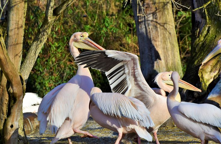 Rosa pelikaner