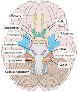 """Oh oh oh, to touch and feel very soft velvet. Ah!"" I'll always remember the cranial nerves."