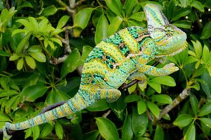 Veiled chameleon, have one of these :)