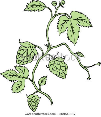 Drawing sketch style illustration of a Hop plant Humulus lupulus with flowers and seed cones or strobiles climbing set on isolated white background.  #hop #humulus #sketch #illustration