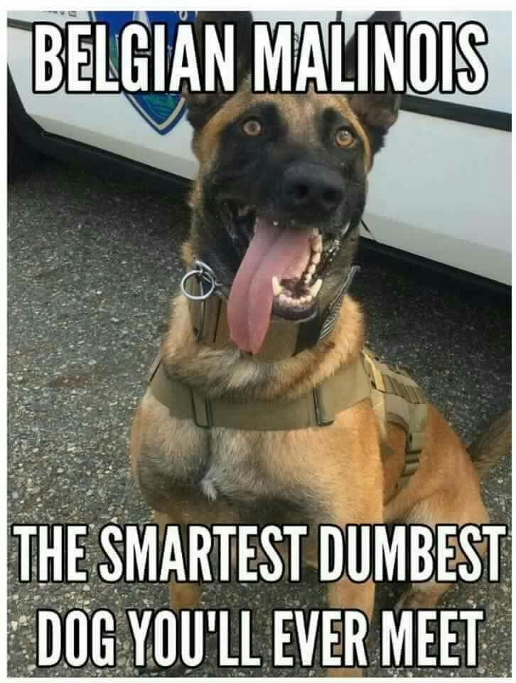 """Belgian Malinois Hope you're doing well..From your friends at phoenix dog in home dog training""""k9katelynn"""" see more about Scottsdale dog training at k9katelynn.com! Pinterest with over 21,700 followers! Google plus with over 435,000 views! You tube with over 500 videos and 60,000 views!! LinkedIn over 11,200  associates! Proudly Serving the valley for 12 plus years! now on instant gram! K9katelynn"""