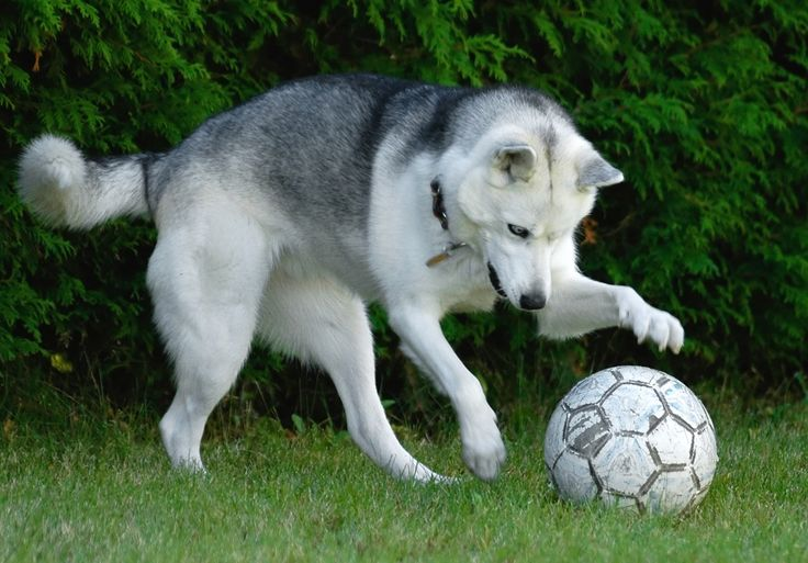 18 Best Images About Dogs Playing Soccer On Pinterest
