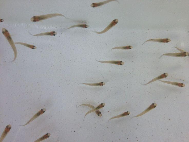 50 Gambusia affinis Mosquitofish Live Tropical Mosquito Fish Pond Control