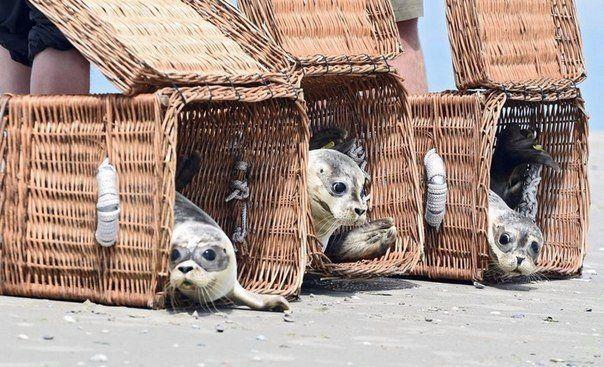 Возвращение тюленят в дикую природу