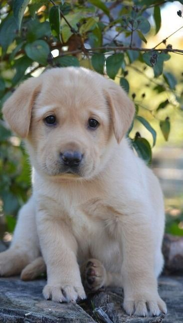 Lab puppy cutie
