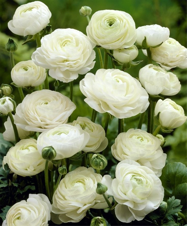 Ranunculus White Shades - Ranunculus - Indoor Bulbs - Flower Bulb Index