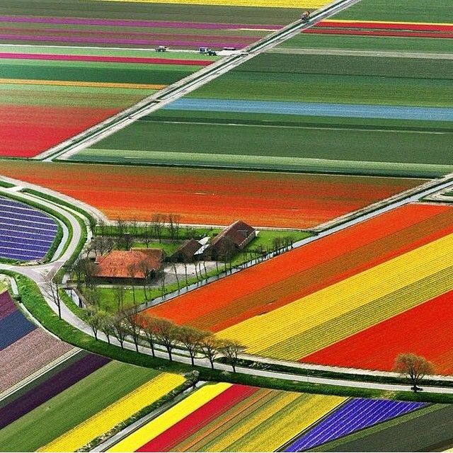 Tulip fields look like painted hills in the Netherlands.
