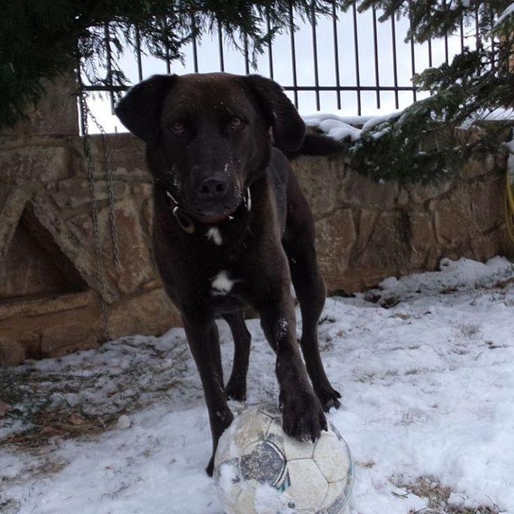 """""""Buffakos loves snow♥♥♥♥♥ #instapuppy #instagranpet #dogs #doglover #petstagram #petlovers #like4like #followme """""""