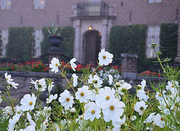 Behöver du en stor buskig planta som fyller ut bra och som blommar hela sommaren till frost? Då ska du så Rosenskära - ytterligare en i raden av de lättsådda sommarblommar som man inte kan misslyckas med.