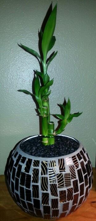 Lucky Bamboo Transplanted Potting Soil Aquarium Rocks In