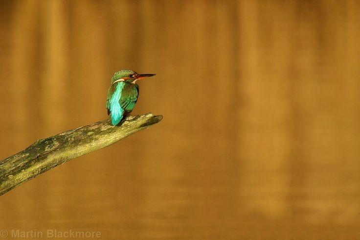 https://flic.kr/p/NVqMQj | Golden Hour Kingfisher 64444 | Hersey Nature Reserve, Seaview, Isle of Wight