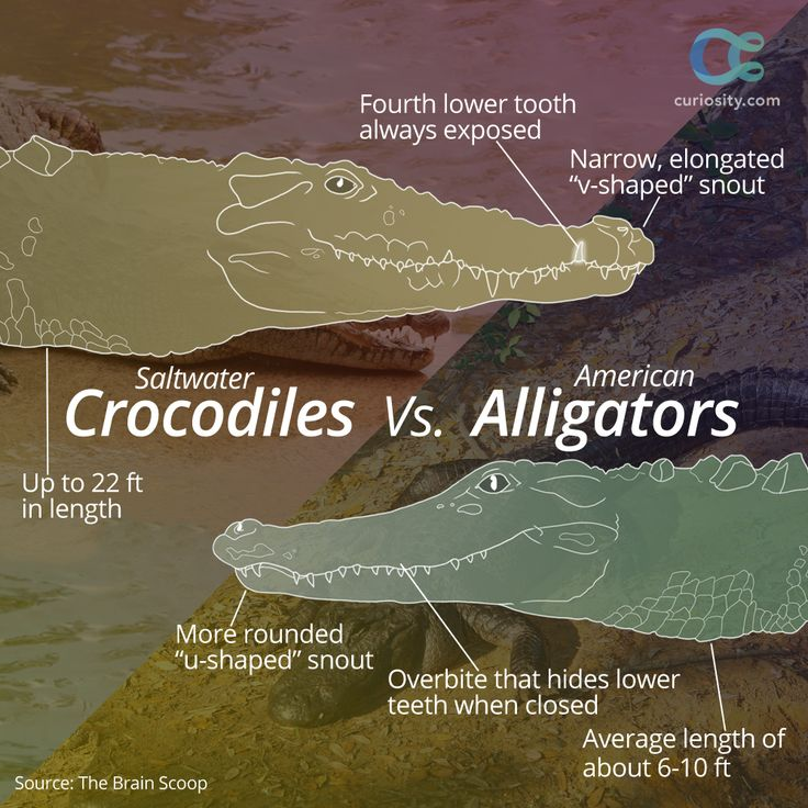 The lifespan of the Nile crocodile (70-100 yrs) is about double that of the American alligator (30-50 yrs). There are more major differences that The Brain Scoop explains in a short video. WATCH HERE: https://curiosity.com/video/crocodiles-vs-alligators-thebrainscoop/?utm_source=pinterest&utm_medium=social&utm_campaign=20141218pincrocsalligators