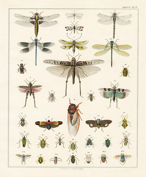 Oken Natural History Butterfly Prints 1843