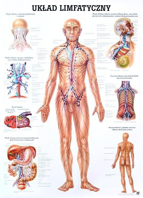 anatomia człowieka układ limfatyczny - Szukaj w Google