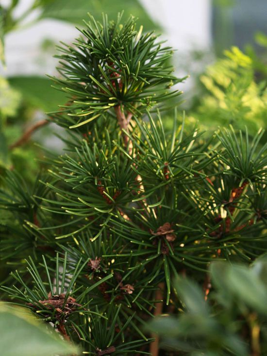 Japanese Umbrella Pine, Sciadopitys verticillata: A pine look-alike, this beautiful evergreen has shiny, dark green needles and a spire-like habit. It's an uncommon and unusual evergreen that adds a different look than most pines. Give Full sun and moist, well-drained soil. Varieties can grow up to 30' tall. Excellent windbreaks on colder sides of houses, and shelter for songbirds.  Zones: 4-8