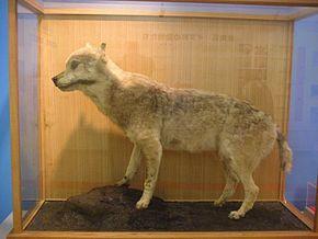 Canis lupus hodophilax