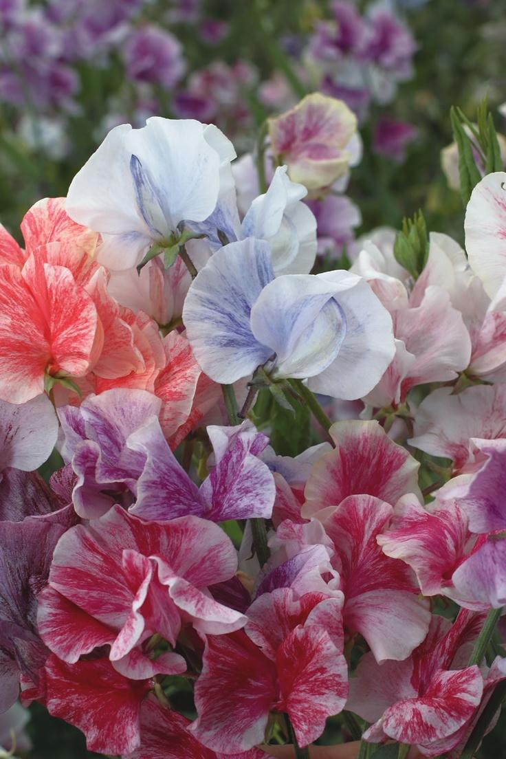 95 best fragrant flowers and gardens images on pinterest backyard sweet pea streamers mix burpee my new favorite flower mightylinksfo