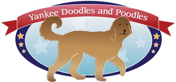 Goldendoodle Prices & Puppy Price Information in Pennsylvania | Yankee Doodles and Poodles