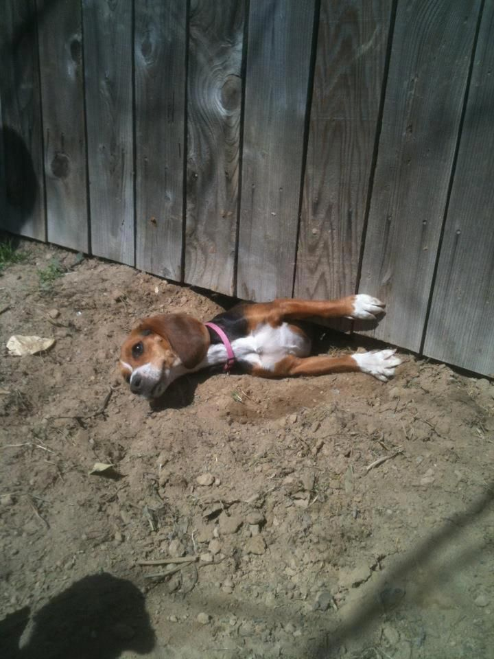 Sneaky Beagle Busted Beagles Are Great Escape Artist I Could
