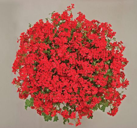 """The Blizzard Red Geranium plant has a """"just right"""" cascading appearance of scarlet-red, ivy-like foliage. This lipstick shade red flower will bring back Grandma-type memories."""