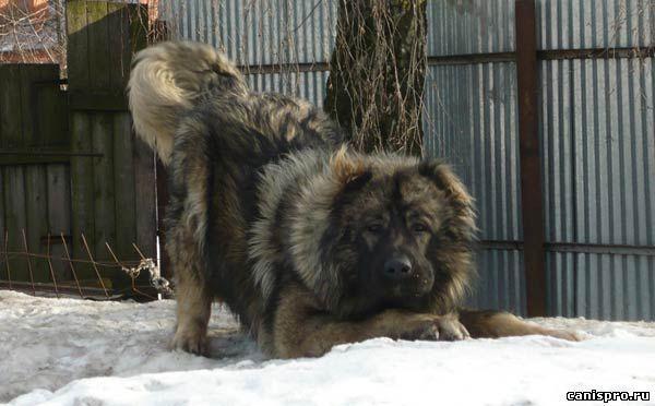 кавказская овчарка: caucasian avcharka(shepard) bear hunter, mauntain dog.wolf hunter