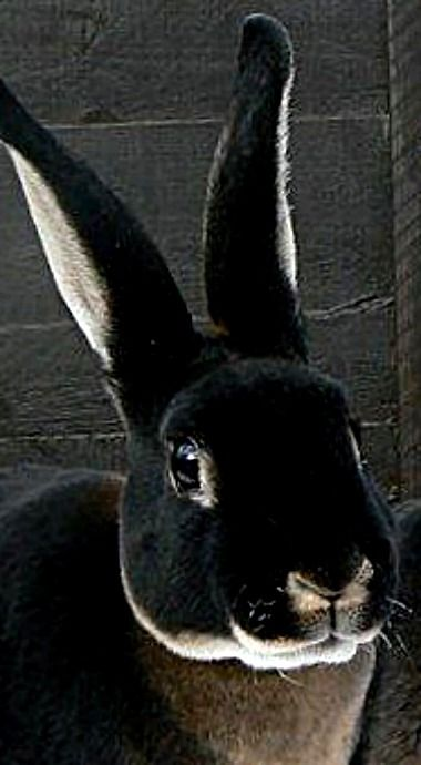 Black Otter Rex Rabbit ❊  I need this in my life. I had a brown Rex years ago and they are the sweetest ever