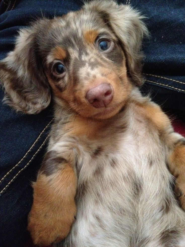 Bruno the daschund puppy