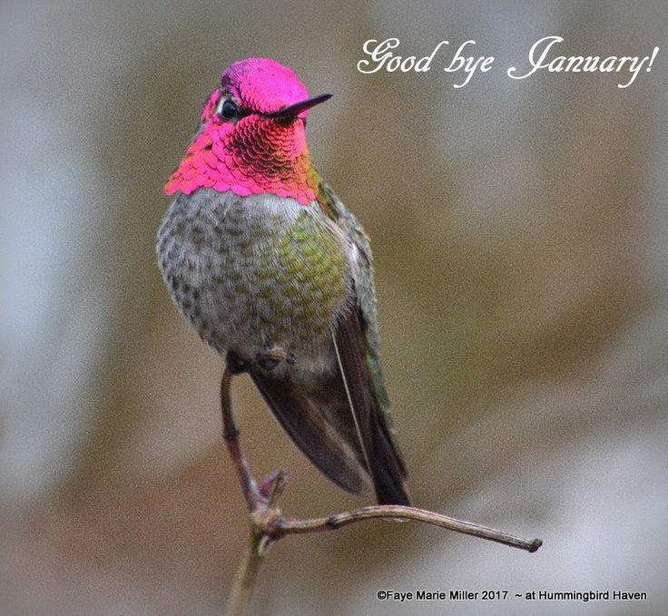 Pin by Ellen Bounds on HUMMING BIRDS Hummingbird, Birds