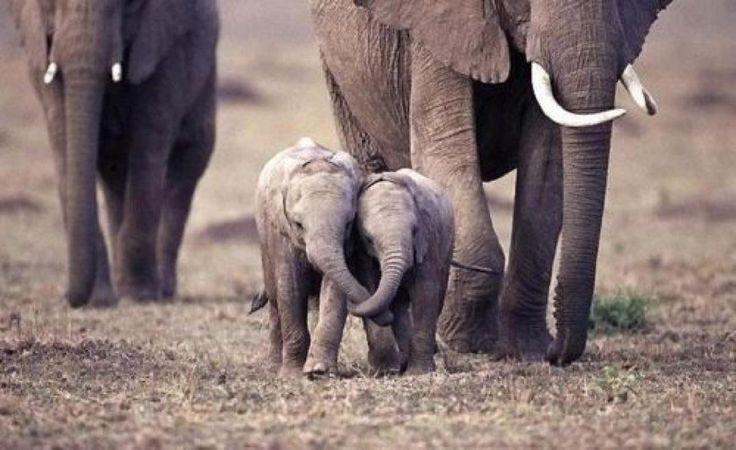 Baby elephant friends holding trunks:
