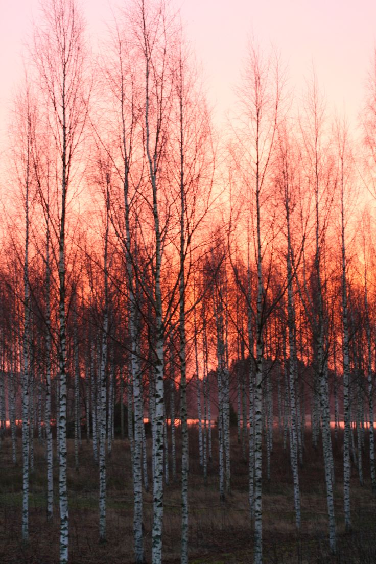 Sunrise behind the birch trees