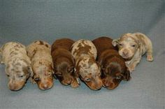 newborn dapple dachshunds - Google Search More