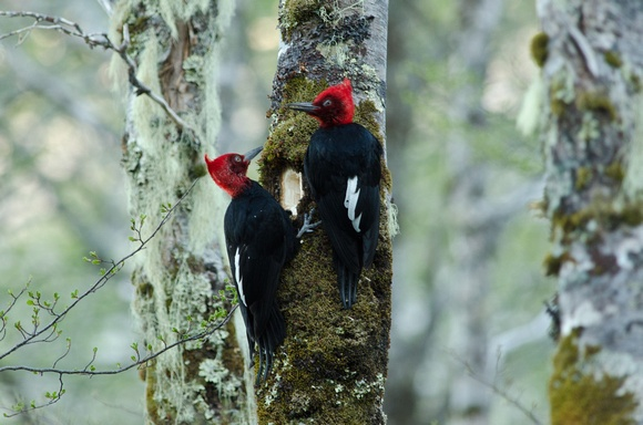 The Magellanic Woodpecker (Campephilus magellanicus) near Puyehue, Chile | from Hein Natural History Photography http://photos.heinphoto.com/img/s11/v35/p184191990-3.jpg
