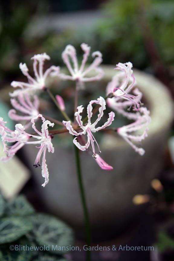 Nerine filifolia - elegantly delicate and in bloom for weeks so far.