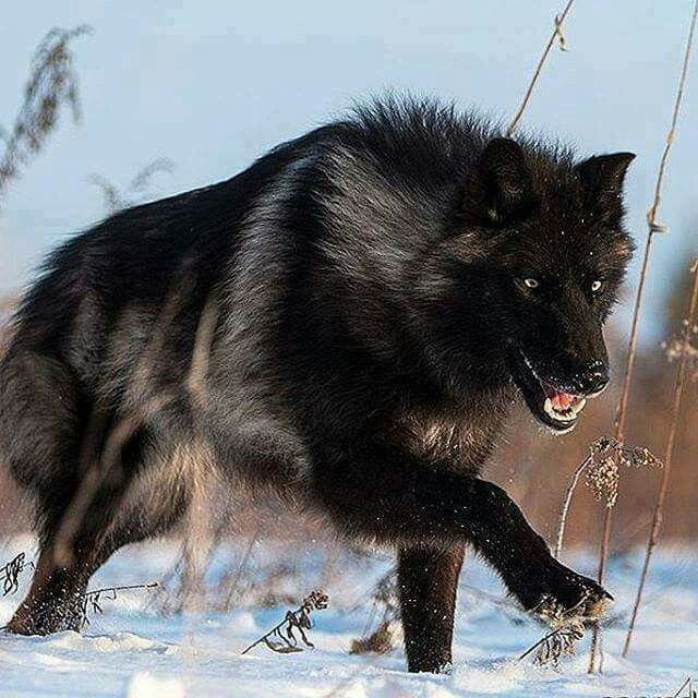 Chapter 18: We even see a wolf and I know it's the real thing because it's too small to be one of the pack. It's a beautiful silver black and I watch it in awe for a while before it finally trots back into the forest.