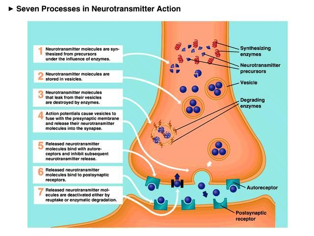 neuron and neurotransmission This revision quiz explores neurons and neurotransmission.