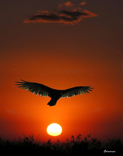 Condor by fainmen, via Flickr, largest flying bird in the world..We brought them almost to the point of extinction. They are making their way back ever so slowly..