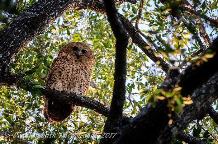 Every serious birder's must-tick #lifer Pel's fishing-owl at Kwetsani Camp, Okavango Delta