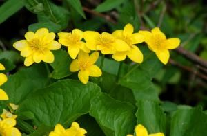 Pictures of Yellow Flowers: Picture of Marsh Marigolds