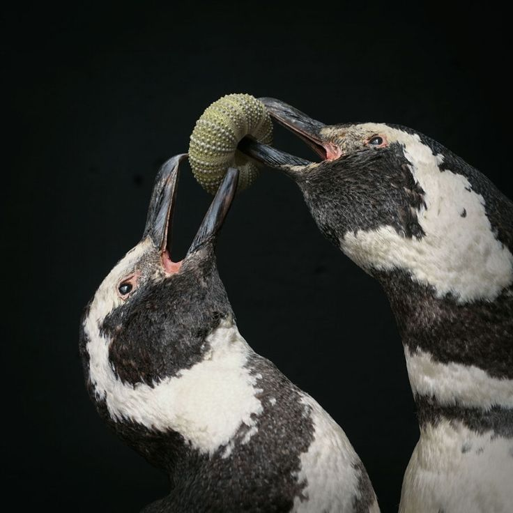 A pair of Magellanic #Penquins with an Urchin shell, is one of many fine #taxidermy works of art from Darwin, Sinke & Von Tongeren.