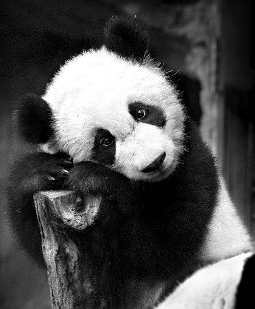 To bardzo urocza panda