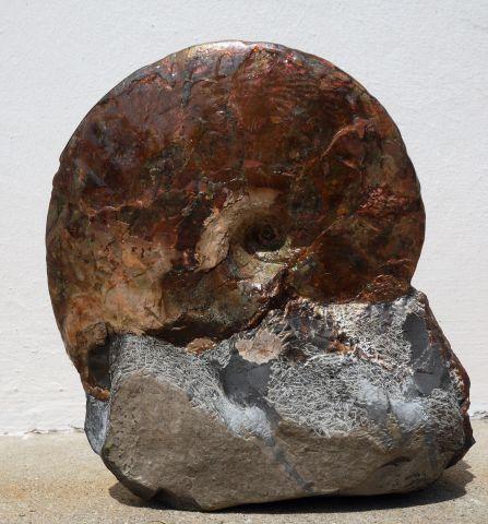 Sphenodiscus 8 uploaded in Sphenodiscus: