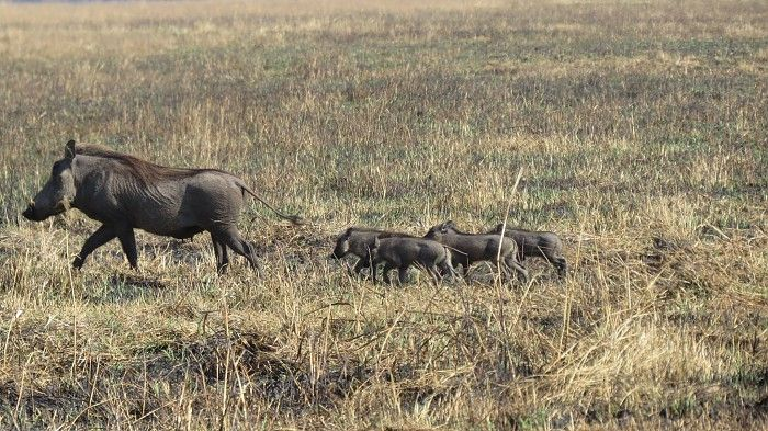 Warthog piggies in Zambia's Kafue National Park...