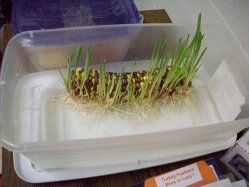 fall: Place an ear of Indian corn on a shallow dish of water. Fill dish so that it just covers bottom third of corn - corn should not be submerged. place in sun or under a lamp and watch it grow!