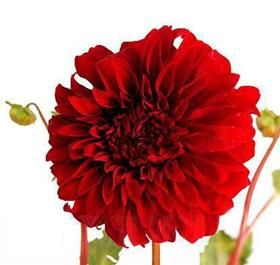 red dinner plate dahlias: Flowers Libraries, Red Flowers, Flowers Power, Emem Flowers, Flowers Variety, Flowers Types