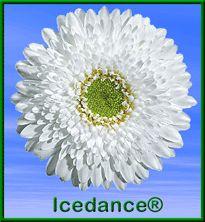 Gerbera Mini Ice Dance