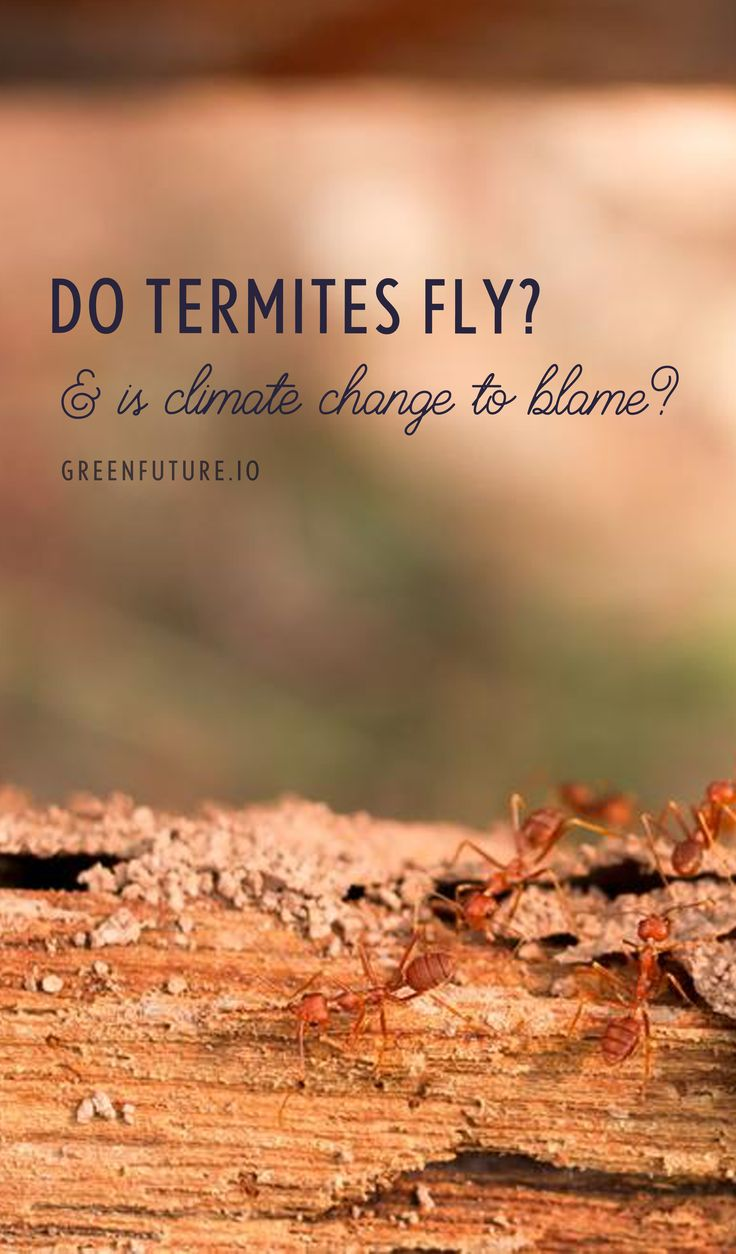 Do termites fly? Yes, some termites fly. In fact, flying termites are usually a homeowner's first indication that they are in the middle of a termite infestation. Termite colonies produce winged termites in order to reproduce. After they've mated, female termites shed their wings and establish new colonies. And due to warming temperatures, two of the most destructive termite species mated in 2014.