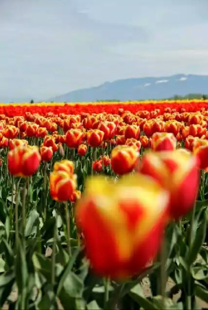 Tulip Festival Daffodil More Photos Allium Pacific