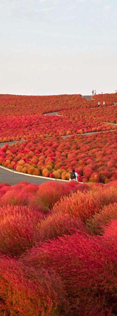 Hitachi Seaside Park in Hitachinaka - Ibaraki Prefecture   Japan