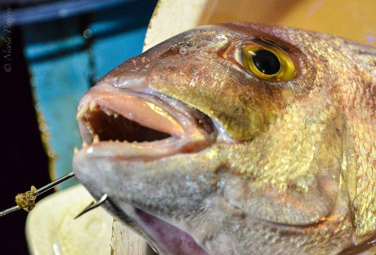 https://flic.kr/p/C6sQ9q   Mercato del pesce 015_2473-.jpg   Dentice - Dentex dentex